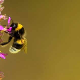 Nature in Focus: Bumblebees! - 3 June