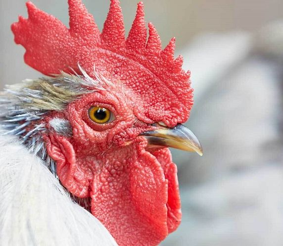 Keeping chickens: a beginner's guide